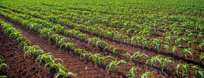 Champ de plantation de maïs photographie stock