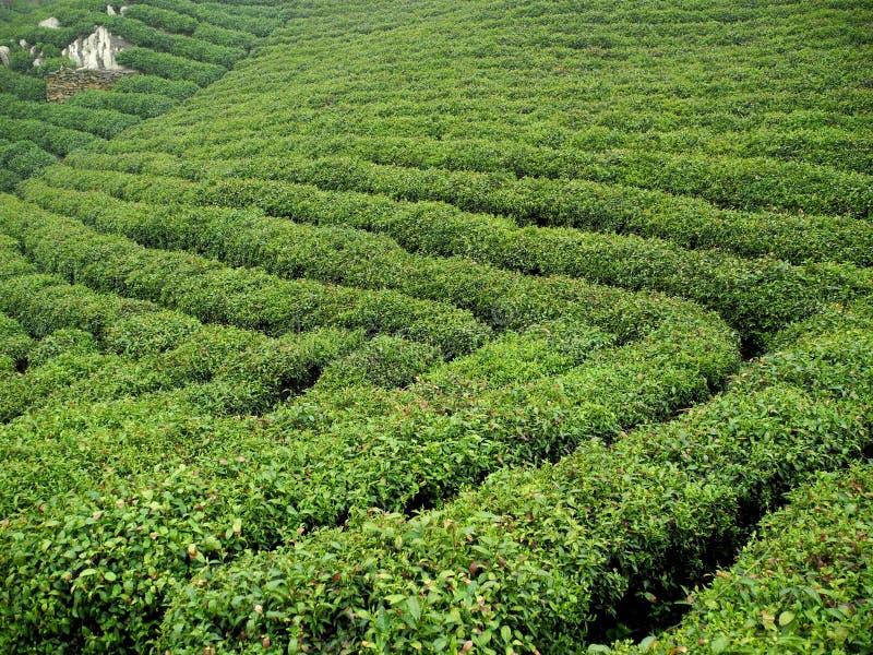Champ de plantation de thé photos stock