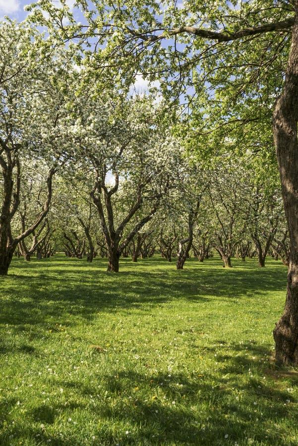 Champ de pommiers au printemps photo libre de droits