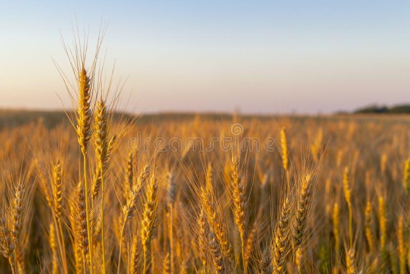Champ de roues doré au coucher du soleil du soir photo libre de droits