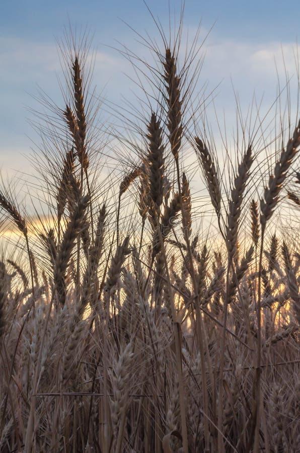 Champ de Rye aux oreilles mûres de coucher du soleil en gros plan sur le fond du coucher du soleil images stock