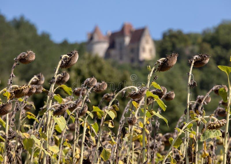 Champ de sécher des tournesols en vallée de rivière de Dordogne images libres de droits