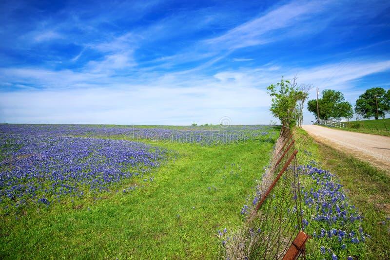 Champ de Texas Bluebonnet au printemps image libre de droits