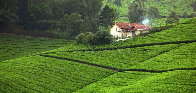 Champ de thé photographie stock libre de droits