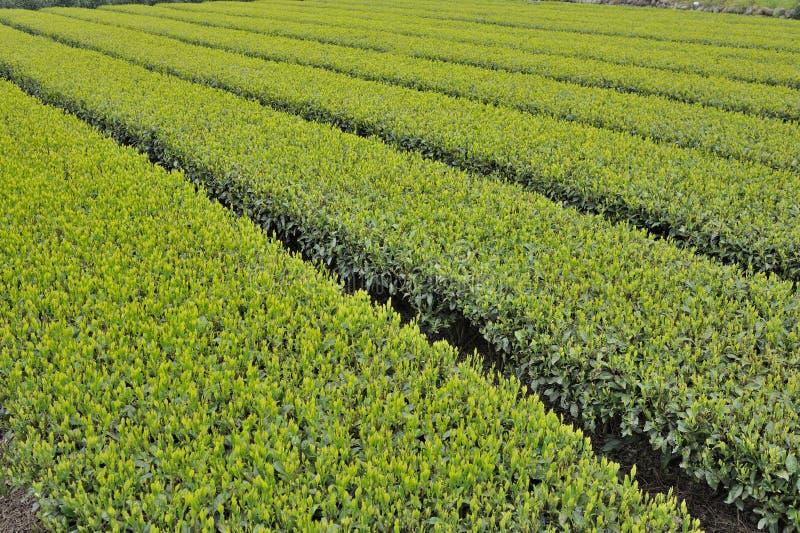 Champ de thé images stock