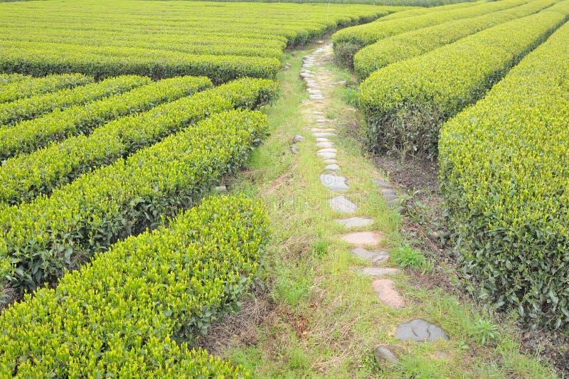 Champ de thé photographie stock