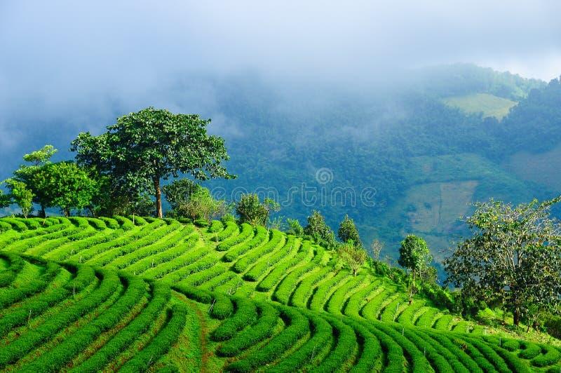 Champ de thé photos libres de droits