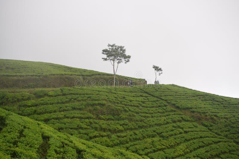 Champ de thé photo stock