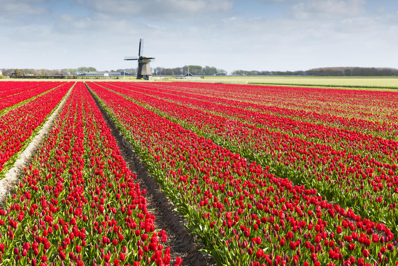 Champ de tulipe avec le moulin à vent photo stock