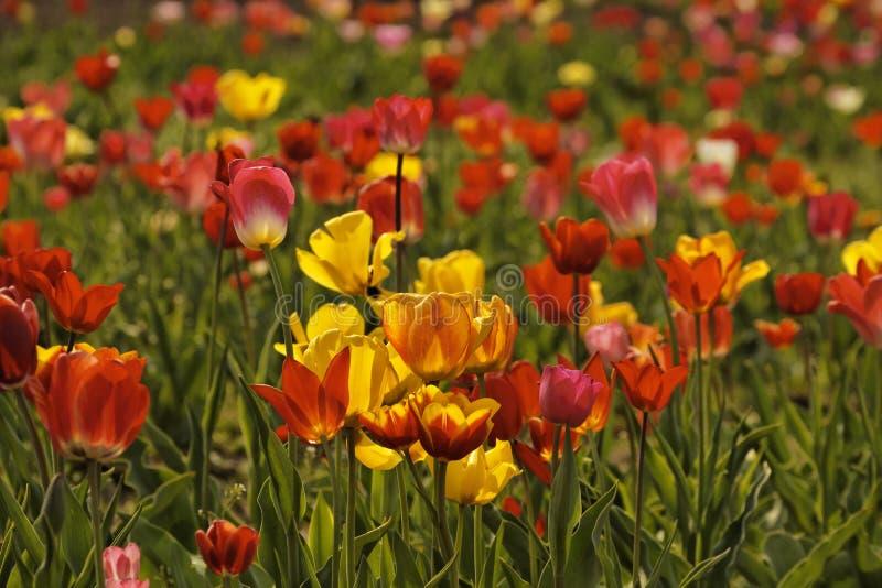 Champ de tulipe avec les fleurs rouges et jaunes en Allemagne images libres de droits