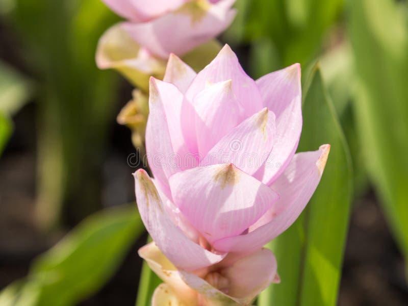 Download Champ De Tulipe Du Siam Avec Le Ton De Bonbon à Fond De Tache Floue Photo stock - Image du vert, nature: 76082764