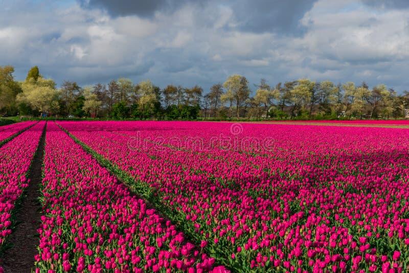 Champ de tulipe et vieux moulins dans le netherland photo stock
