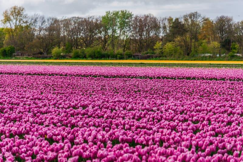 Champ de tulipe et vieux moulins dans le netherland image stock