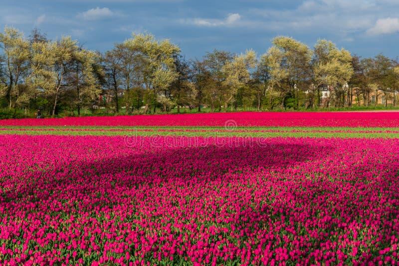 Champ de tulipe et vieux moulins dans le netherland photographie stock