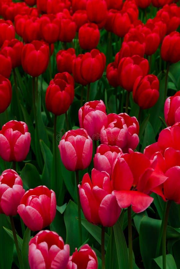 Champ de tulipe et vieux moulins dans le netherland photos libres de droits