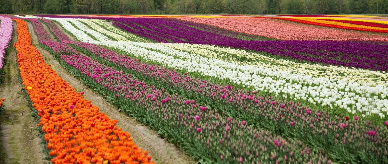 Champ de tulipe de fleur photo stock