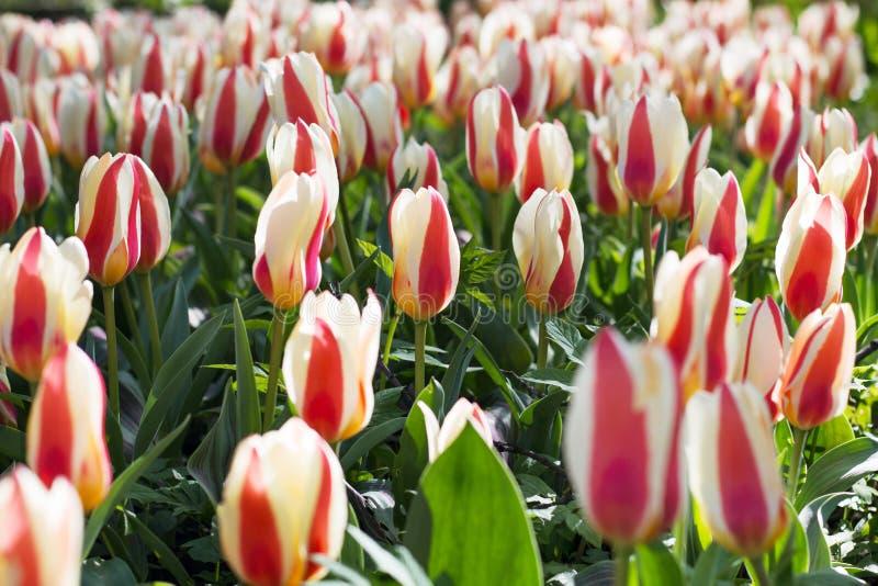 Champ de tulipes des fleurs colorées au printemps photographie stock