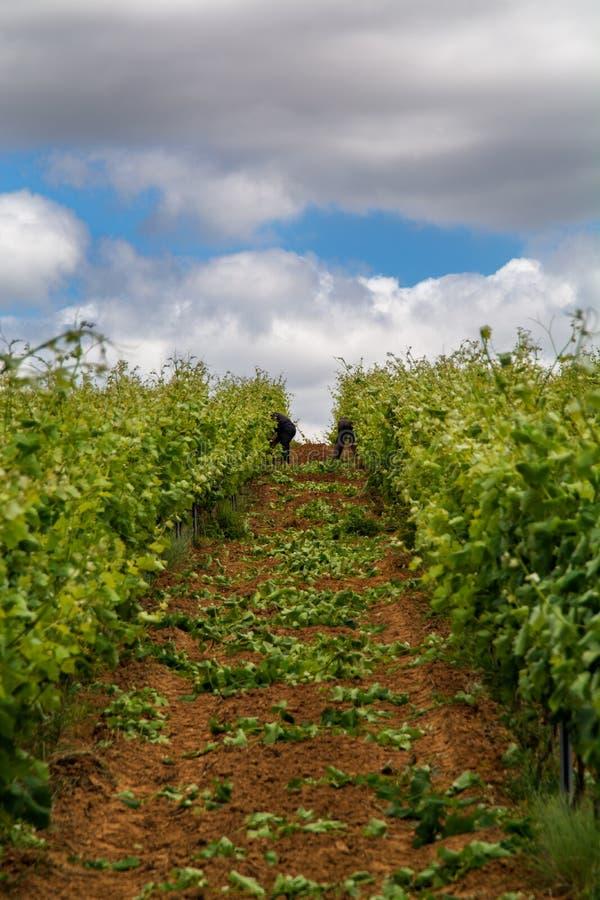 Champ de vigne à Torres Vedras Portugal photographie stock