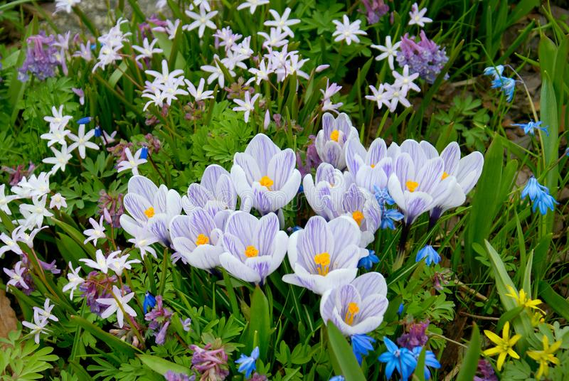 Champ de Violet Crocus Flowers photographie stock