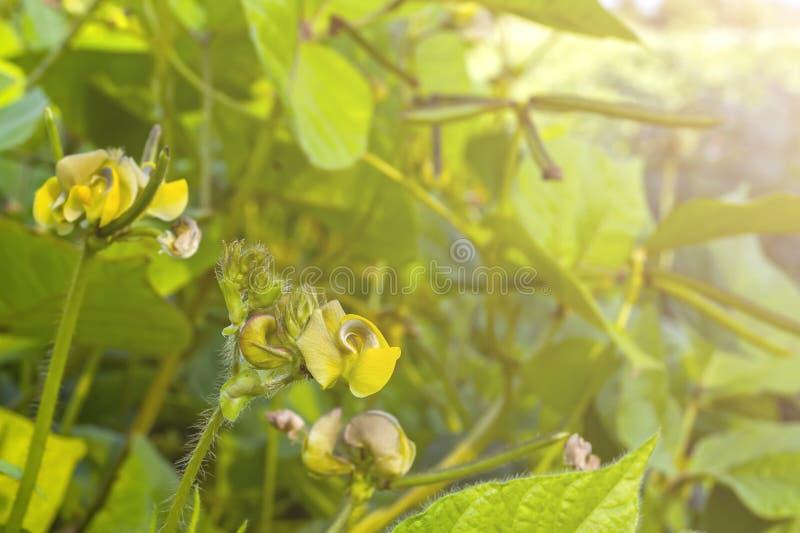 Champ des fèves de mung, pendant la formation de la culture Floraison et gonflement des haricots dans des cosses photo stock