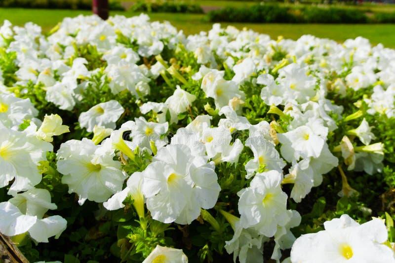 Champ des fleurs blanches fleurissant dans le soleil d'été image libre de droits