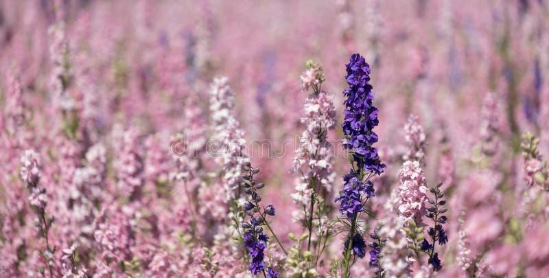 Champ des fleurs colorées de delphinium plantées dans les rangées de couleur, dans un domaine de fleur en mèche, Pershore, Worces photos libres de droits
