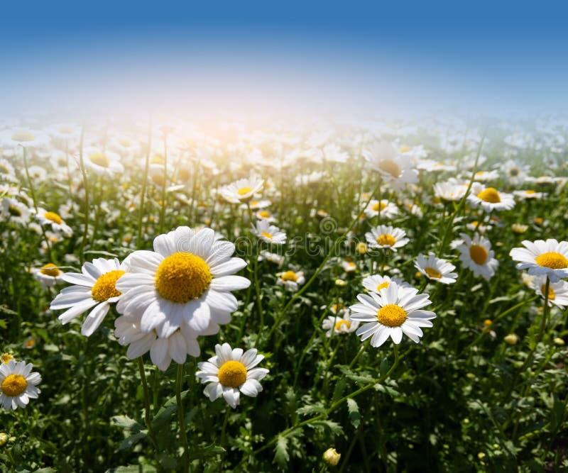 Champ des fleurs de marguerite dans l'herbe photo libre de droits