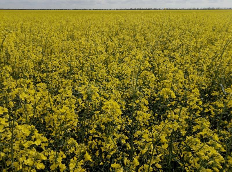 Champ des fleurs jaunes photos libres de droits