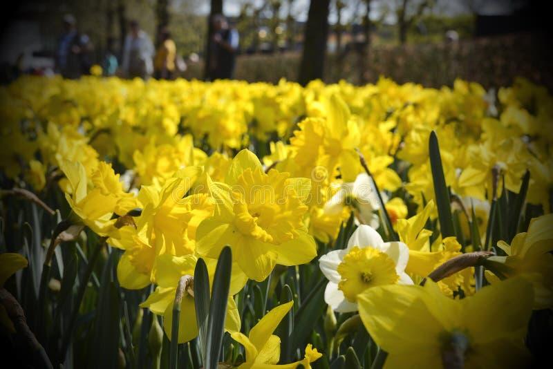 Champ des fleurs jaunes de narcis photographie stock libre de droits