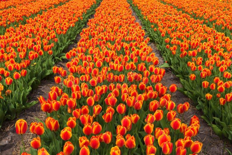 Champ des fleurs oranges de tulipes photos libres de droits