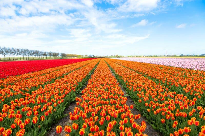 Champ des fleurs oranges de tulipes photo stock