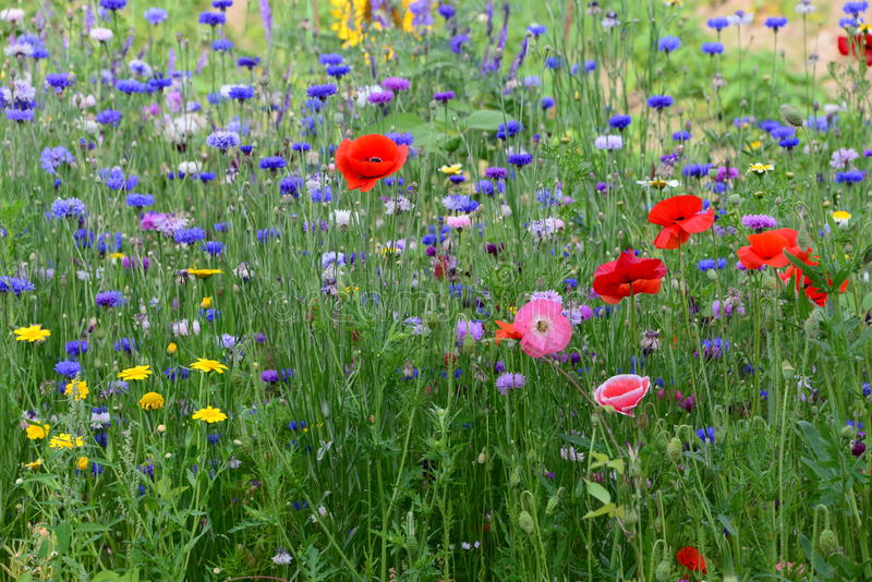 Champ des fleurs sauvages avec un bon nombre de couleurs dans le jardin en Belgique photos libres de droits