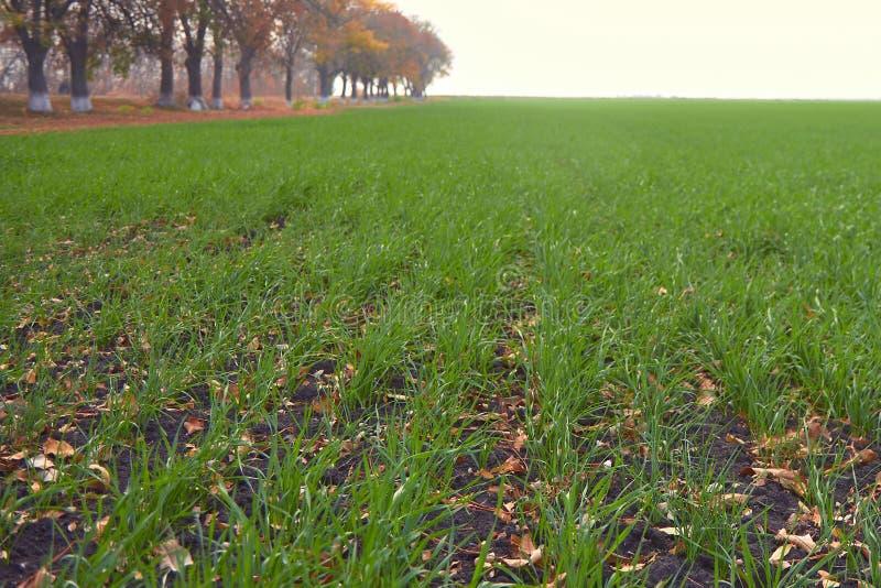 Champ des jeunes plantes du blé d'hiver en automne un jour ensoleillé photographie stock libre de droits