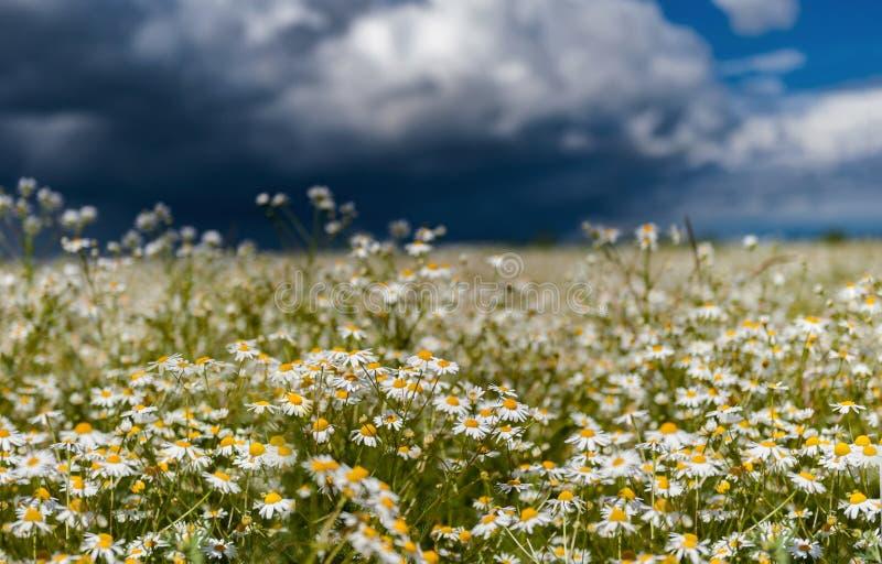 Champ des marguerites contre un ciel pluvieux orageux dans le jour d'été photographie stock