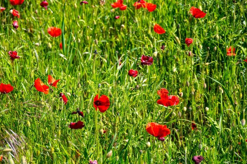 Champ des pavots de floraison image stock