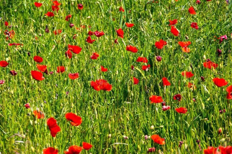 Champ des pavots de floraison photos libres de droits