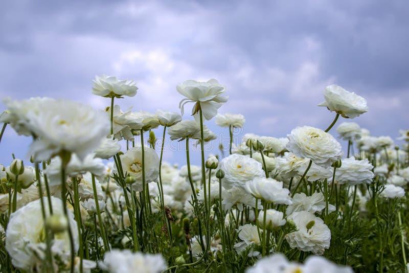 Champ des renoncules de floraison blanches de fleurs contre un ciel bleu avec des nuages image stock