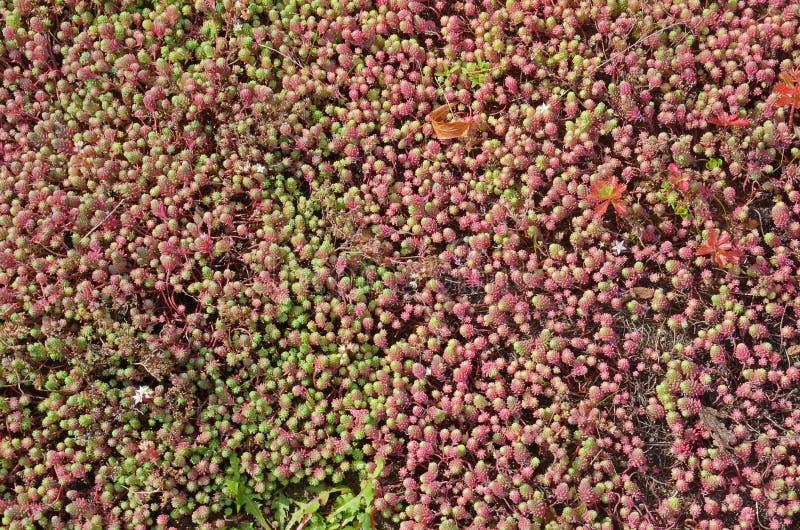 Champ des succulents pourpres image stock