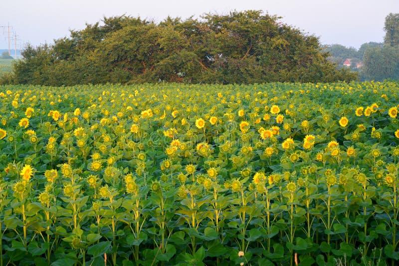 Champ des tournesols au lever de soleil photo stock