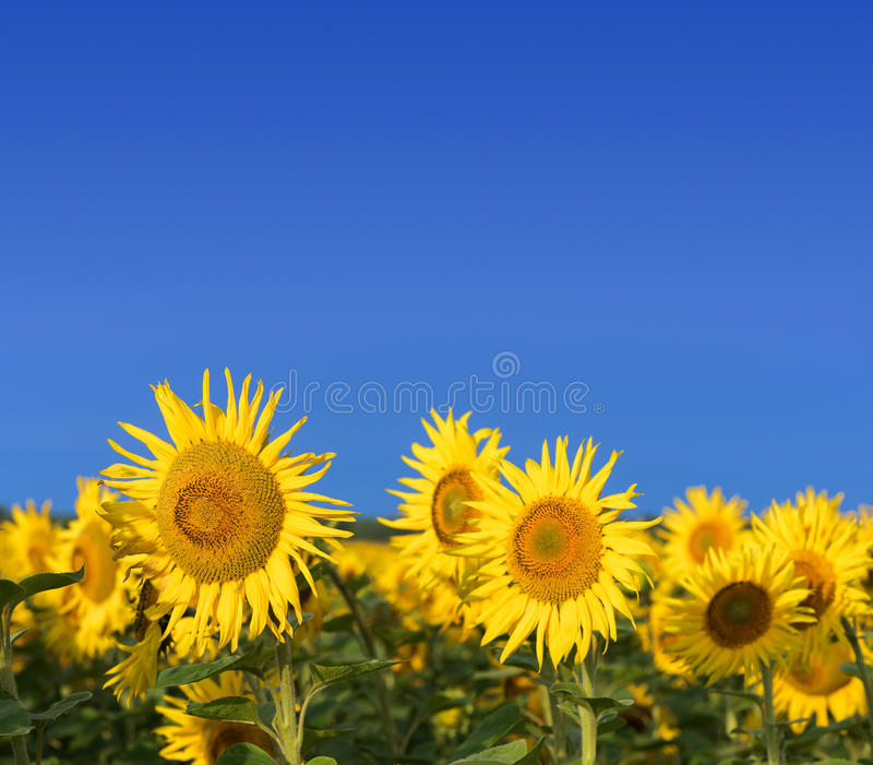Champ des tournesols contre le ciel bleu photos libres de droits