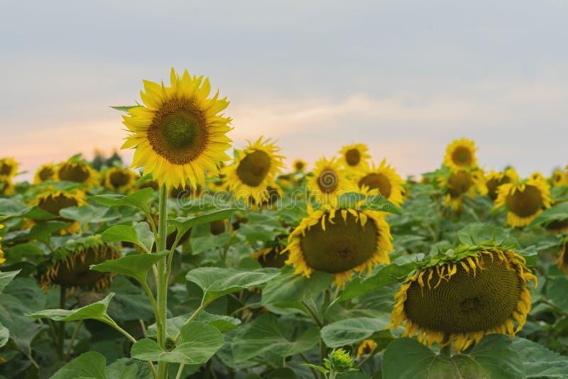 Champ des tournesols de ferme contre le contexte du coucher du soleil le soir d'août après pluie Beau fond d'été dessus images libres de droits