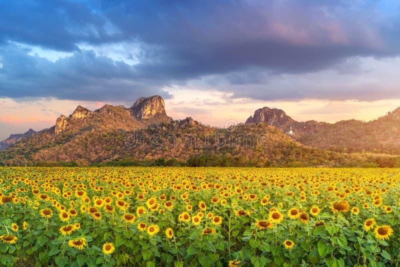 Champ des tournesols de floraison au lever de soleil photo libre de droits