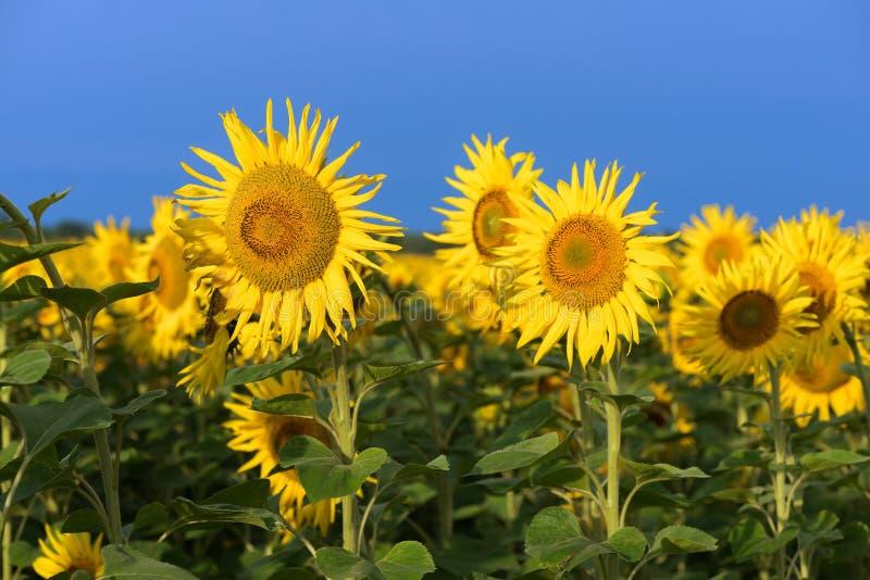 Champ des tournesols de floraison contre le ciel bleu photos libres de droits