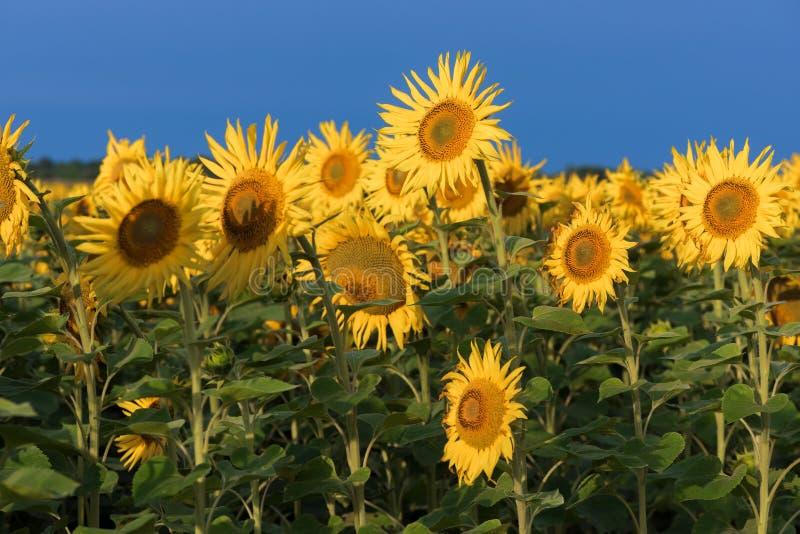 Champ des tournesols de floraison contre le ciel bleu photographie stock