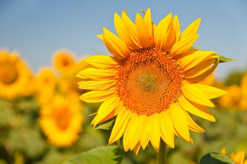 Champ des tournesols de floraison sur un coucher du soleil de fond, image libre de droits