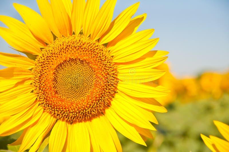 Champ des tournesols de floraison sur un coucher du soleil de fond, photographie stock