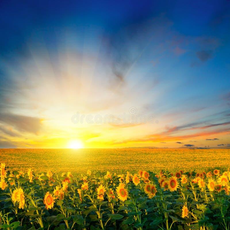 Champ des tournesols de floraison sur un lever de soleil de fond photo libre de droits