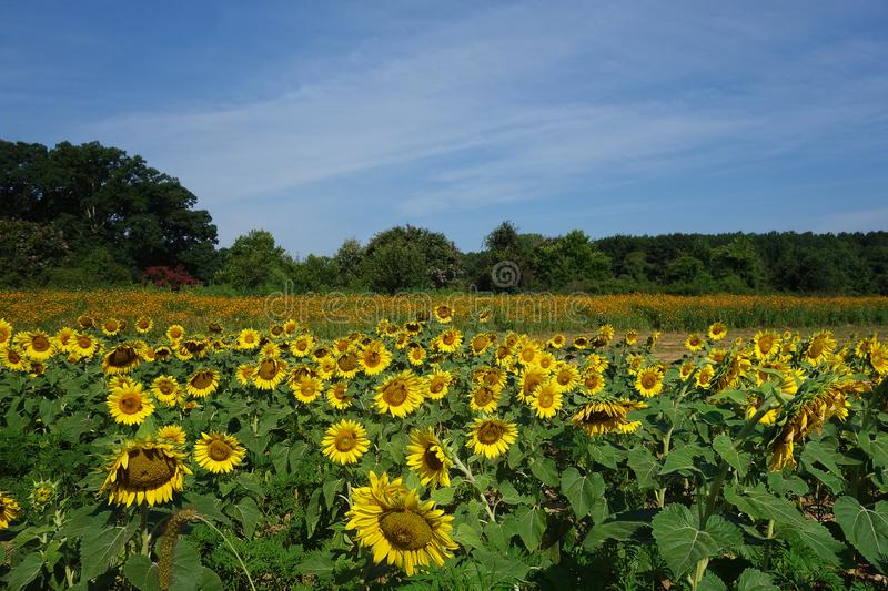 Champ des tournesols en parc de DIX, Raleigh, OR photo stock