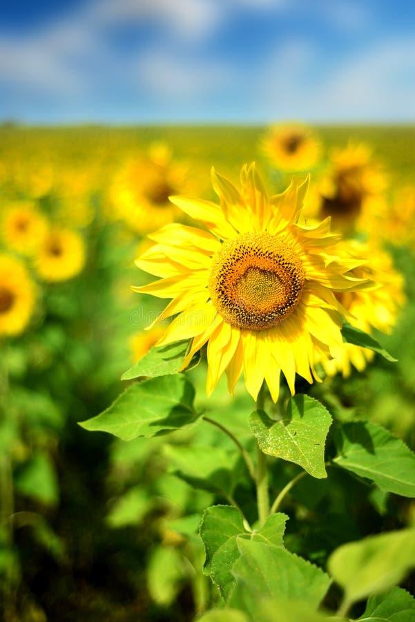 Champ des tournesols mûrs jaunes en nature images libres de droits