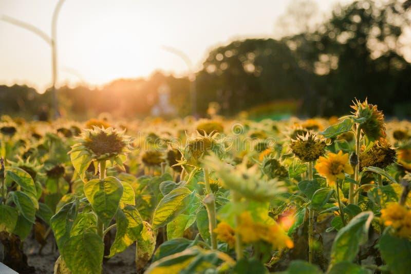 Champ des tournesols pendant les jours de l'été dernier au coucher du soleil, foyer sélectif photos libres de droits